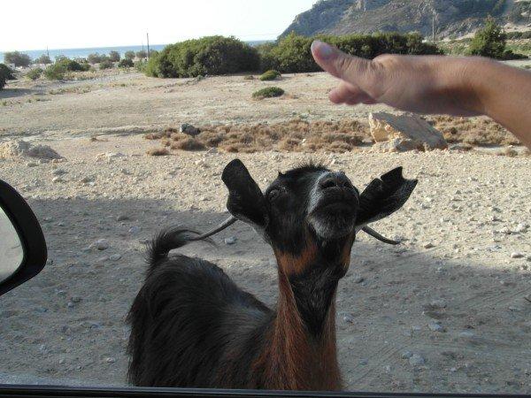 Kozy potkáte všude.