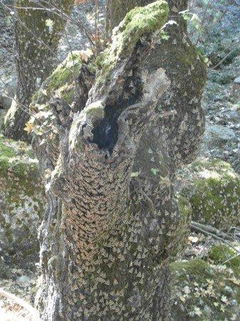 Strom v obležení motýlů (přástevník kostivalový) v Petaloudes (Údolí Motýlů)